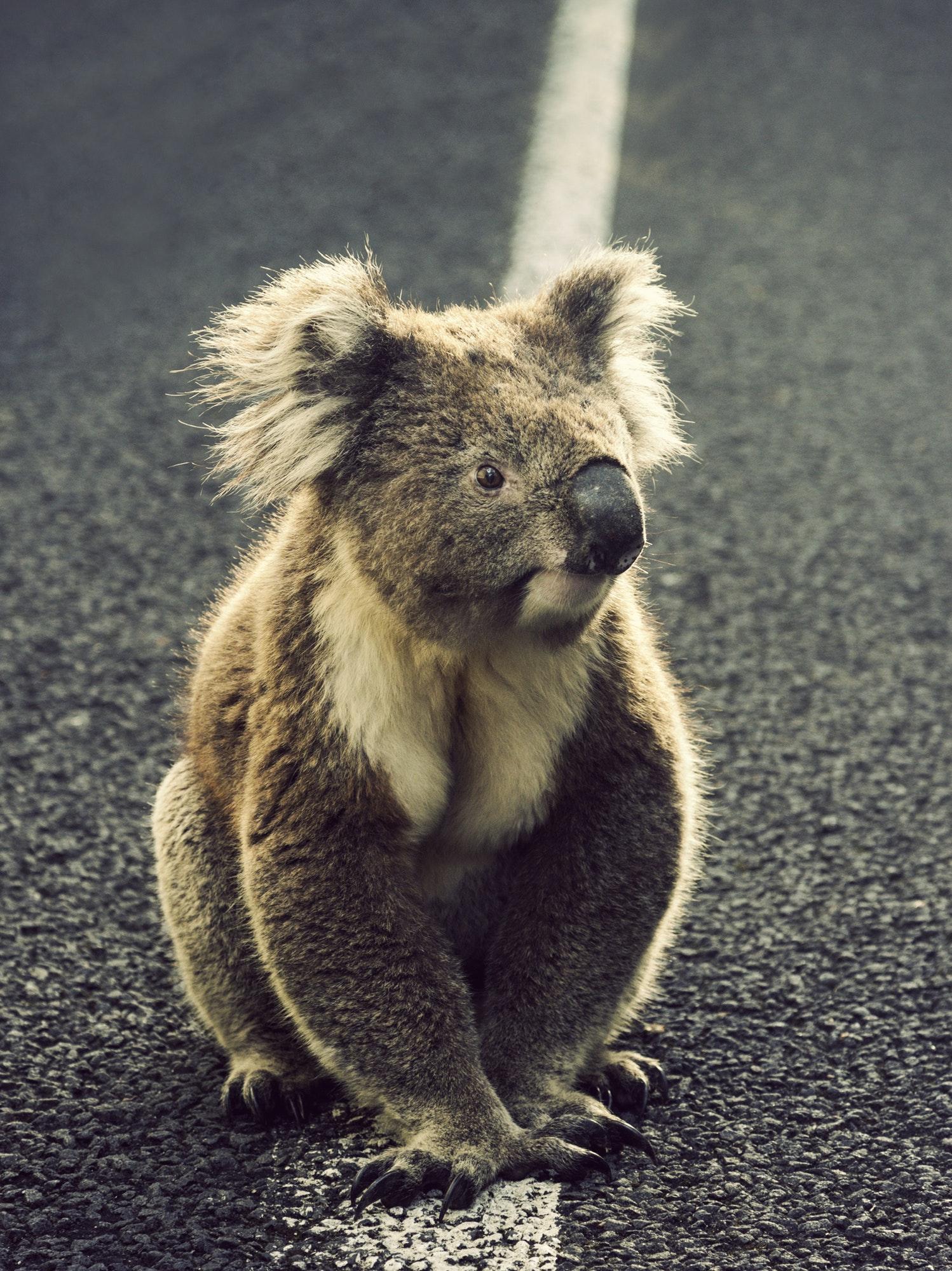 Koala on the road